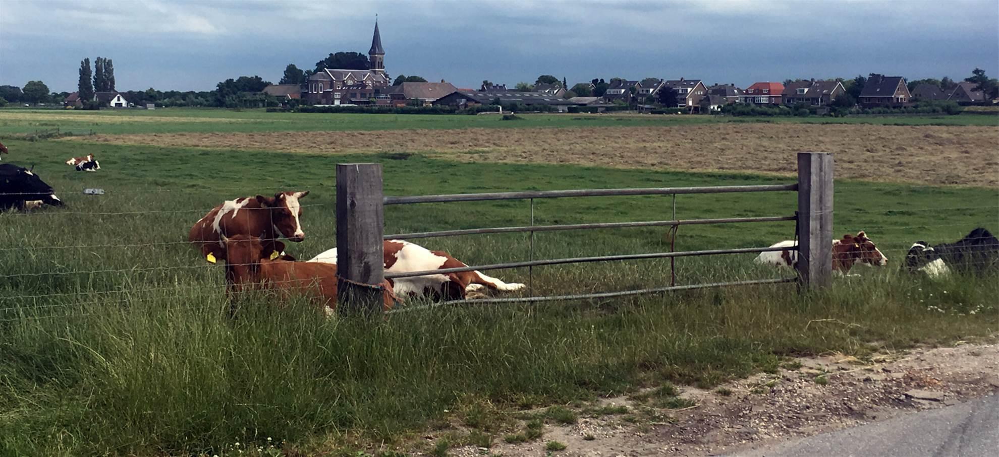 Fietsrit over het Nederlandse platteland: 'polder', windmolens, meren en kaas