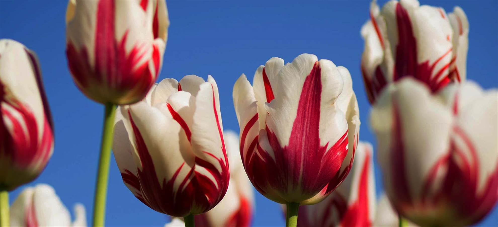 Vol en hélicoptère au dessus des tulipes