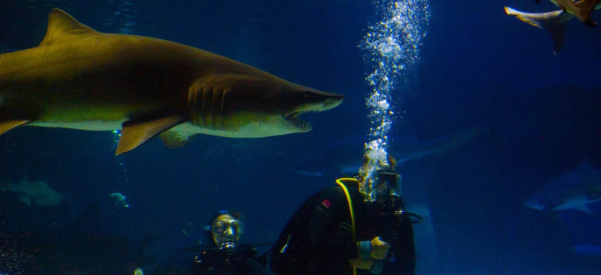Mit Haien tauchen