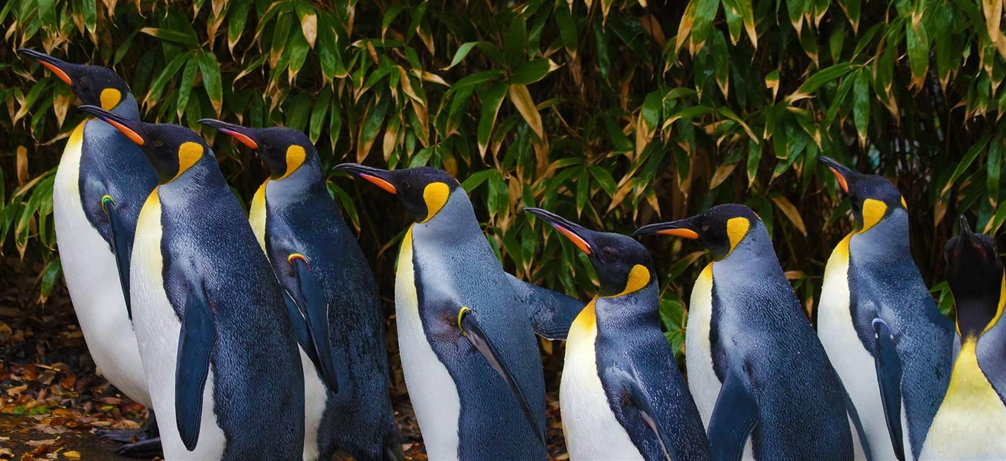Penguin Parade with Penguins Plus