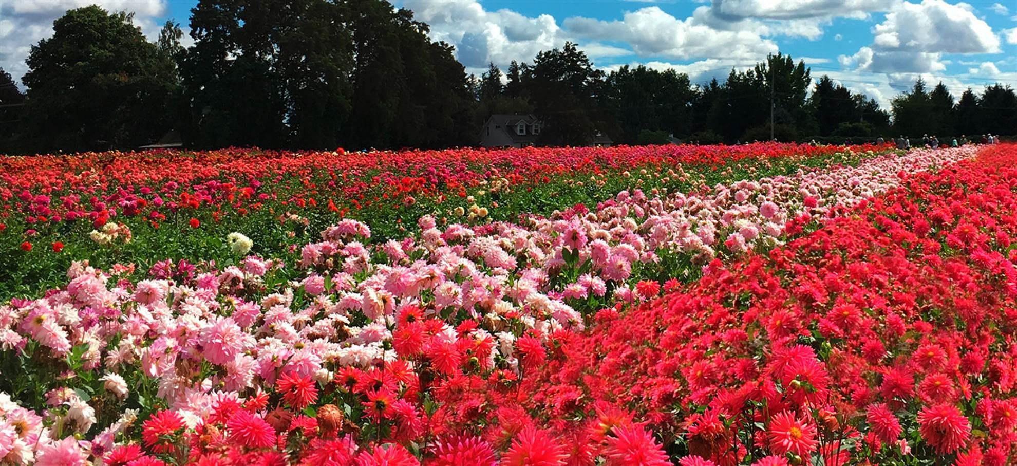 Dahlia Flower Fields GPS Audio Tour